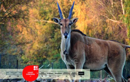 Serengeti-Park animals: Eland antelope