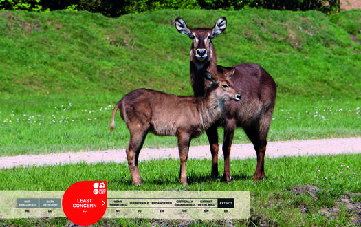Serengeti-Park animals: Ellipse Waterbuck