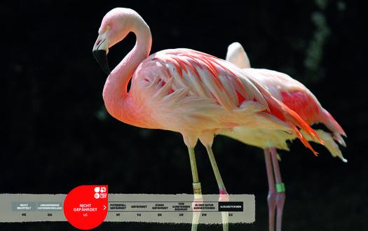 Wildtiere im Serengeti-Park: Rosa Flamingo