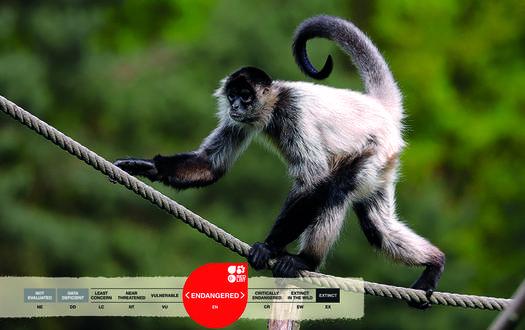Serengeti-Park animals: Geoffroy Spider Monkey