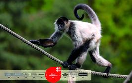 Wildtiere im Serengeti-Park: Geoffroy-Klammeraffe