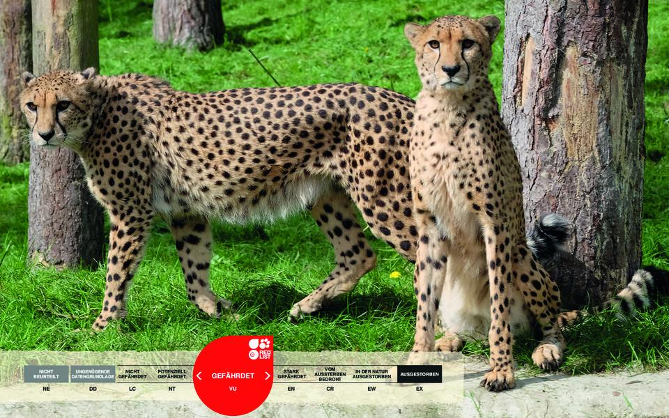 Wildtiere im Serengeti-Park: Gepard