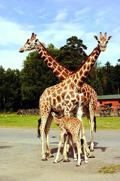 Giraffen-Nachwuchs im Serengeti-Park
