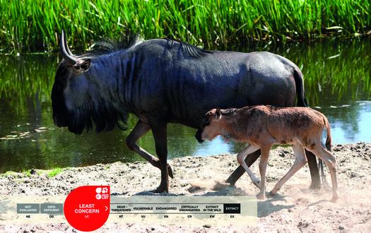 Serengeti-Park animals: Wildebeest