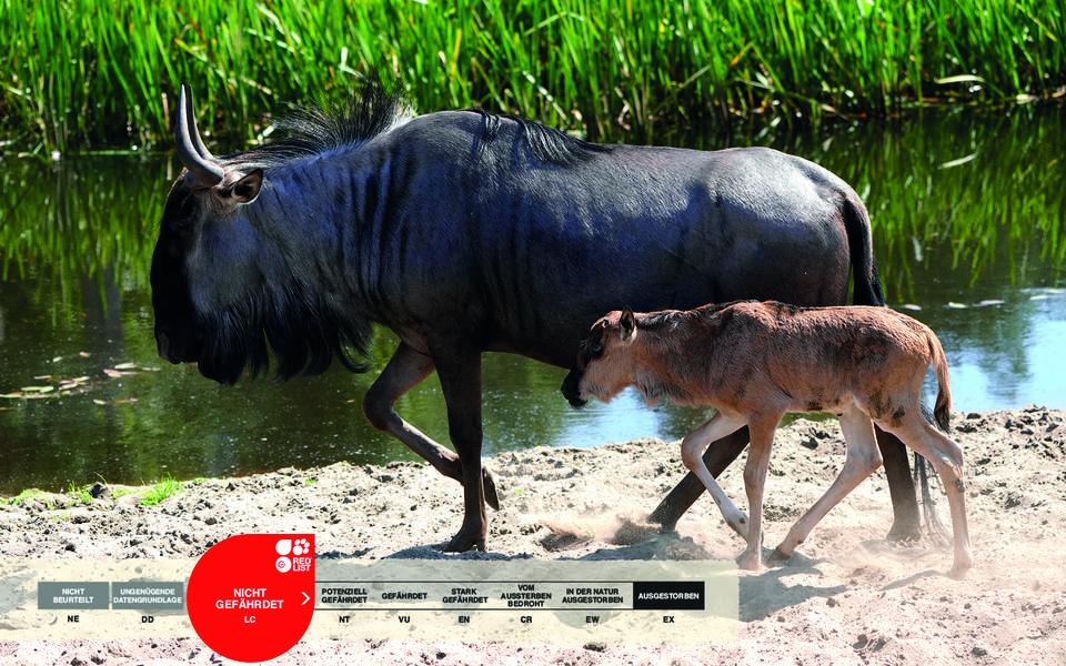 Wildtiere im Serengeti-Park: Gnu