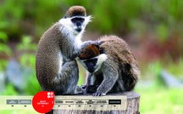 Wildtiere im Serengeti-Park: Grüne Meerkatze