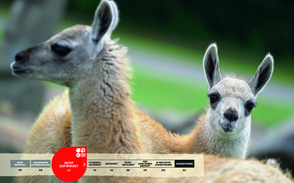 Wildtiere im Serengeti-Park: Guanako
