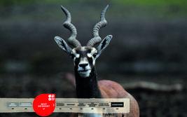 Wildtiere im Serengeti-Park: Hirschziegenantilope