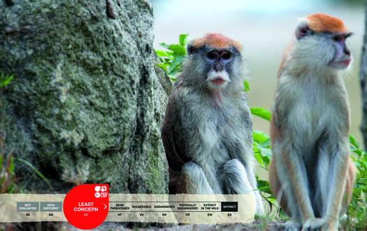 Serengeti-Park animals: Patas Monkey
