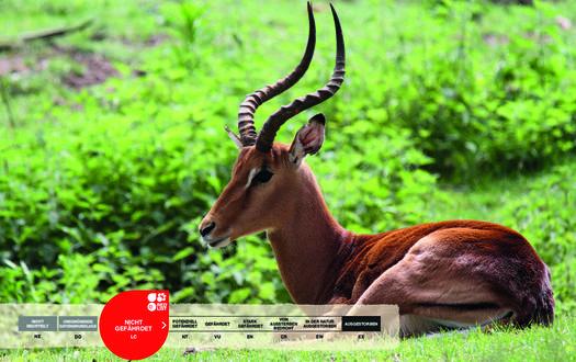 Wildtiere im Serengeti-Park: Impala