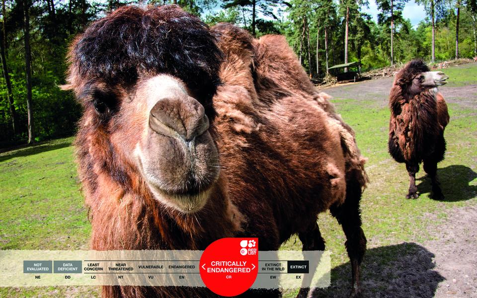 Serengeti-Park animals: Bactrian camel