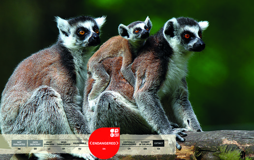 Serengeti-Park animals: Katta