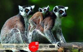 Wildtiere im Serengeti-Park: Katta