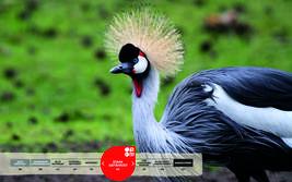 Wildtiere im Serengeti-Park: Kronenkranich