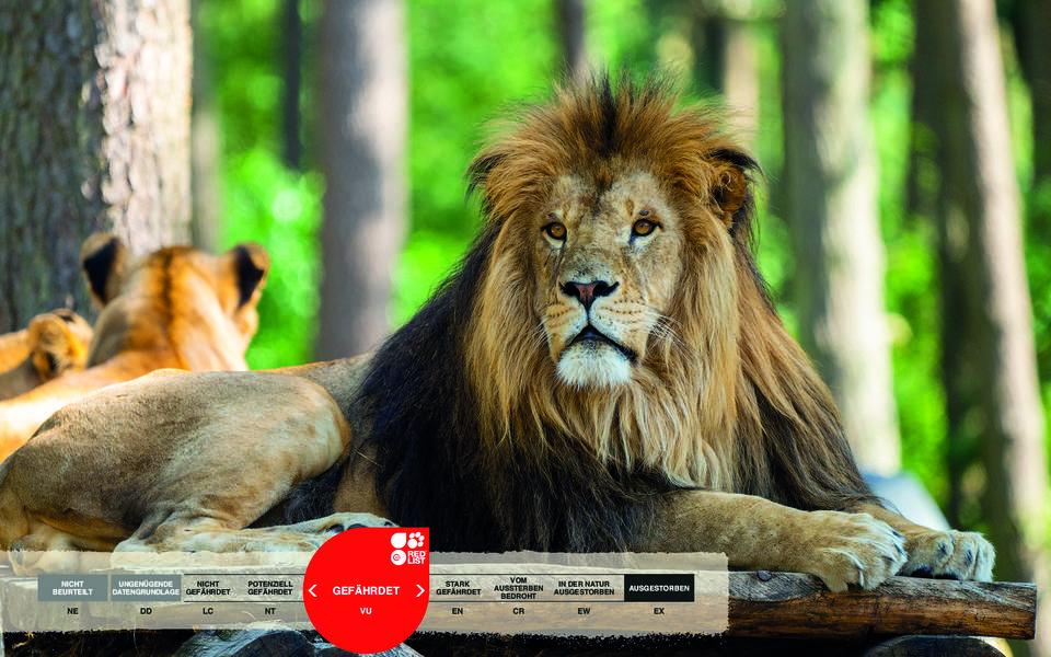 Wildtiere im Serengeti-Park: Löwe