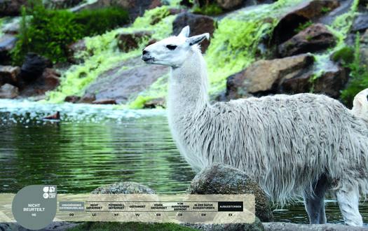 Wildtiere im Serengeti-Park: Lama