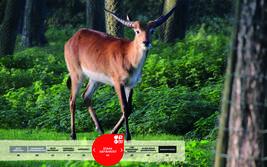 Wildtiere im Serengeti-Park: Litschi-Wasserbock
