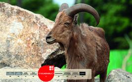 Serengeti-Park animals: Barbary Sheep