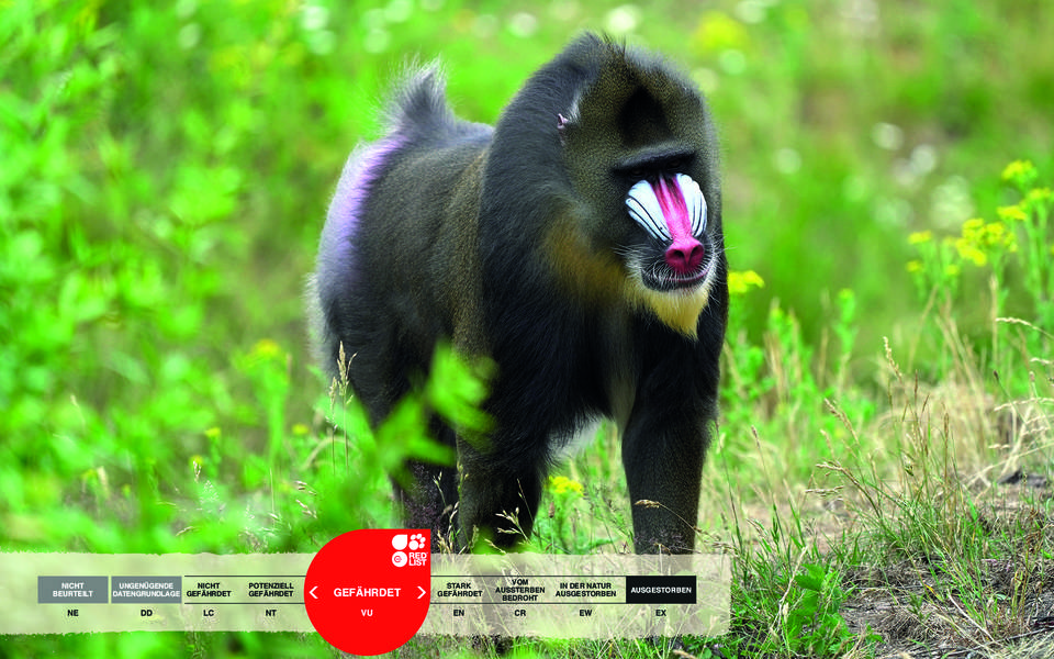 Wildtiere im Serengeti-Park: Mandrill