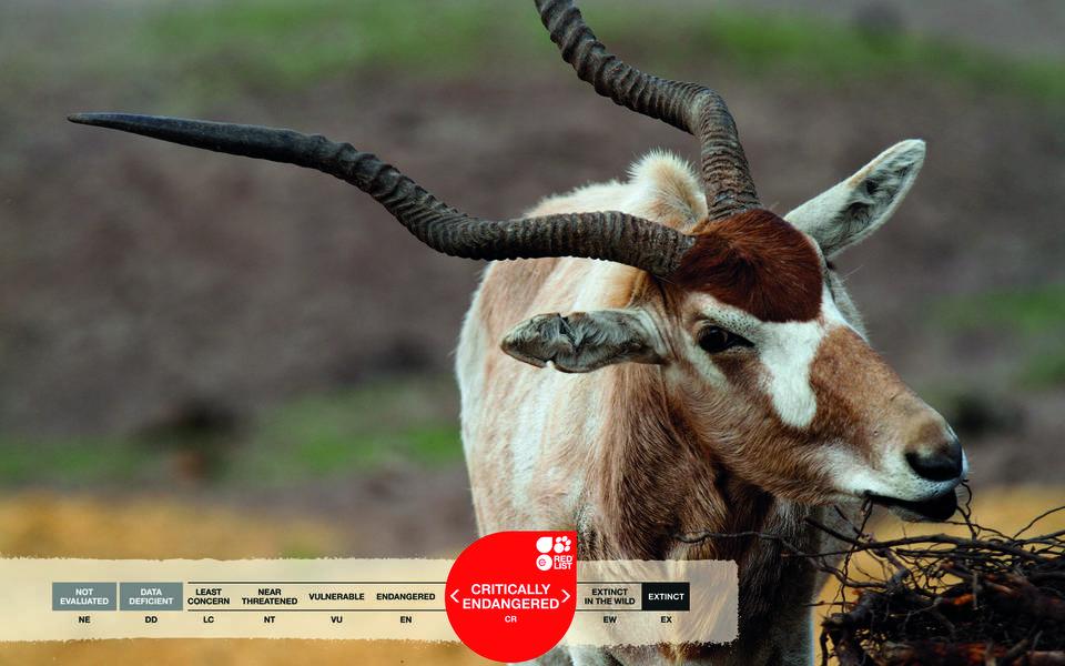 Serengeti-Park animals: Addax