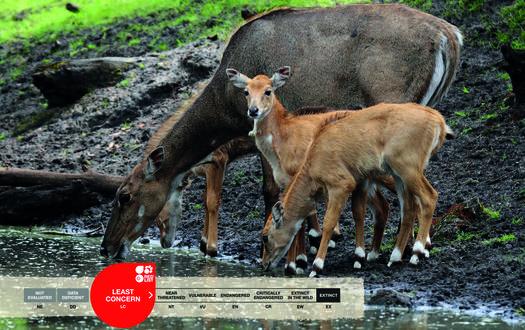 Serengeti-Park animals: Nilgau