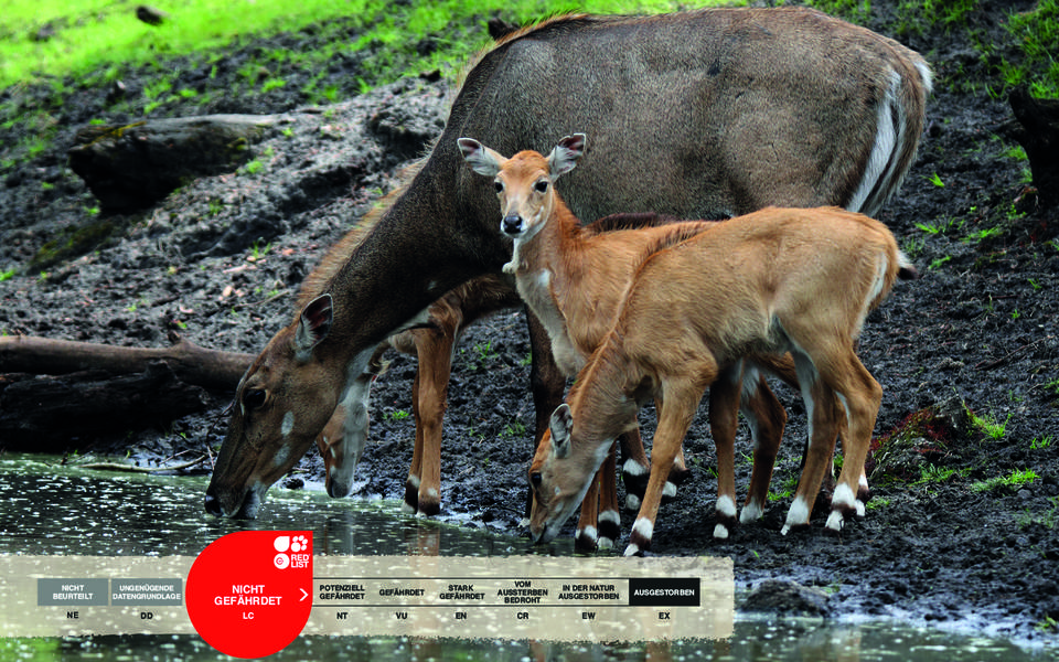 Wildtiere im Serengeti-Park: Nilgauantilope