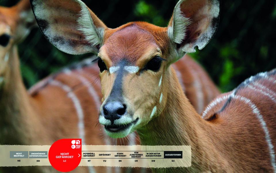 Wildtiere im Serengeti-Park: Nyala