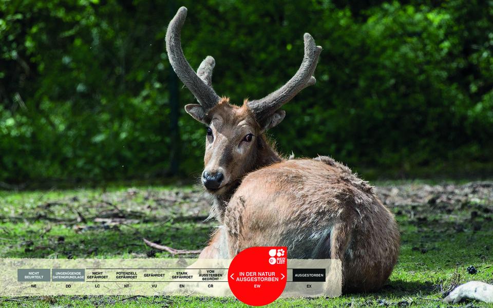 Wildtiere im Serengeti-Park: Davidsirsch