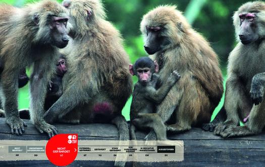 Wildtiere im Serengeti-Park: Pavian