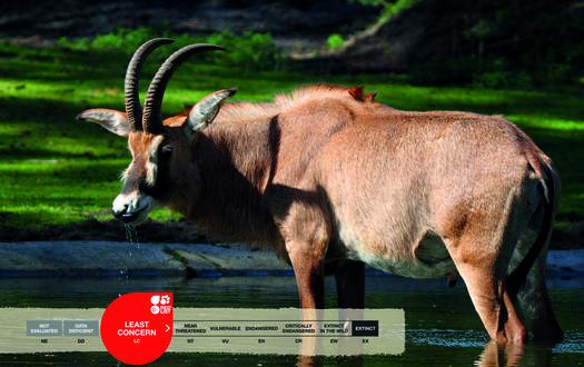 Serengeti-Park animals: Roan antelope