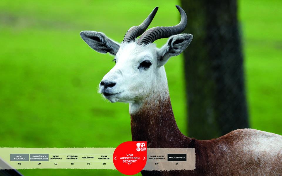 Wildtiere im Serengeti-Park: Rothalsgazelle