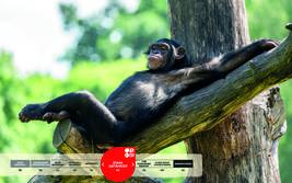 Wildtiere im Serengeti-Park: Schimpanse