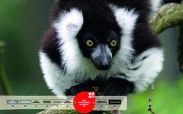 Wildtiere im Serengeti-Park: Schwarzweißer Vari