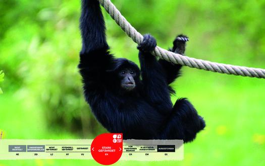 Wildtiere im Serengeti-Park: Siamang