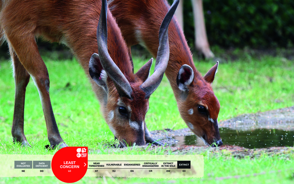 Serengeti-Park animals: Sitatunga