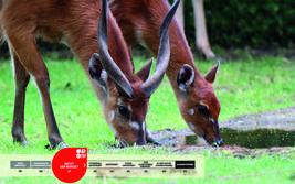 Wildtiere im Serengeti-Park: Sitatunga