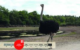 Serengeti-Park animals: African Ostrich