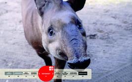 Wildtiere im Serengeti-Park: Flachlandtapir