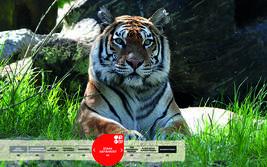 Wildtiere im Serengeti-Park: Tiger