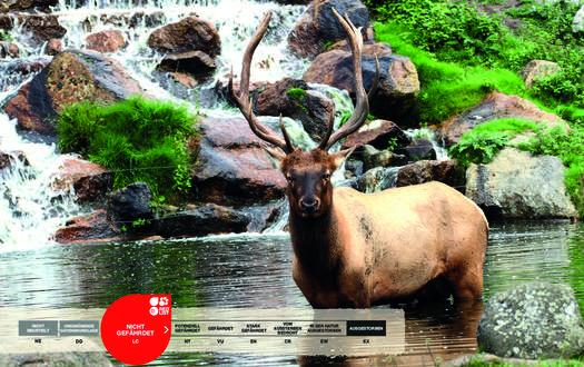 Wildtiere im Serengeti-Park: Wapiti