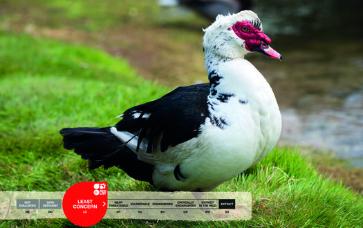 Serengeti-Park animals: Muscovy duck