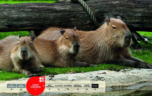 Serengeti-Park animals: Capybara