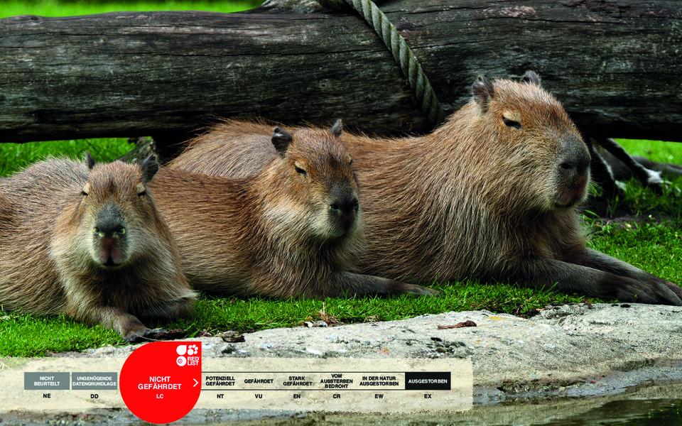Wildtiere im Serengeti-Park: Wasserschwein