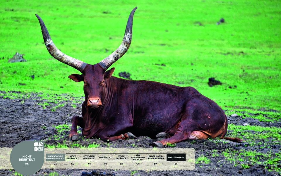 Wildtiere im Serengeti-Park: Watussi-Rind