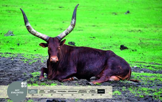 Serengeti-Park animals: Watussi cattle