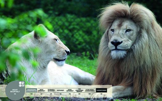 Wildtiere im Serengeti-Park: Weißer Löwe