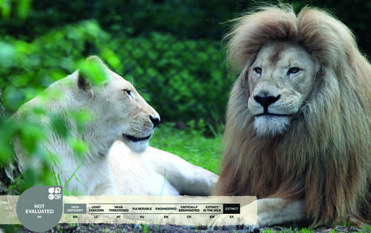 Serengeti-Park animals: White Lion