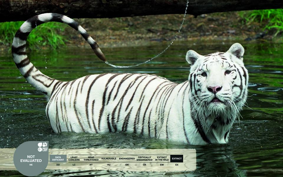 Serengeti-Park animals: White Tiger