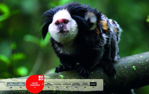 Serengeti-Park animals: White-fronted marmosets