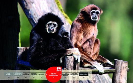 Wildtiere im Serengeti-Park: Weißhand-Gibbon